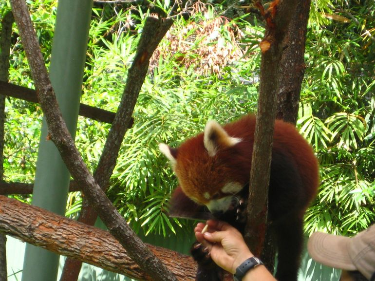 Red panda - Cairns & the Tropical North