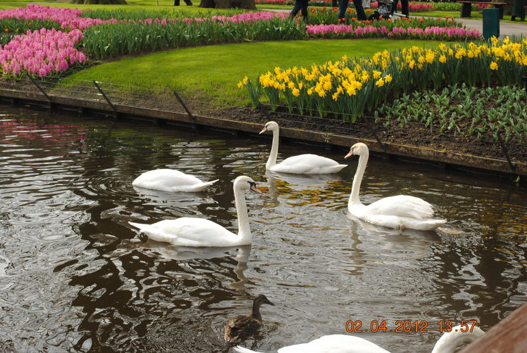 Swans in the Pond - Amsterdam