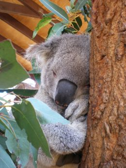 Koala at Taronga Zoo, close enough to touch but not allowed to - March 2008