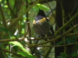 Male stitchbird - taken with a compact camera! , Sean C - December 2017