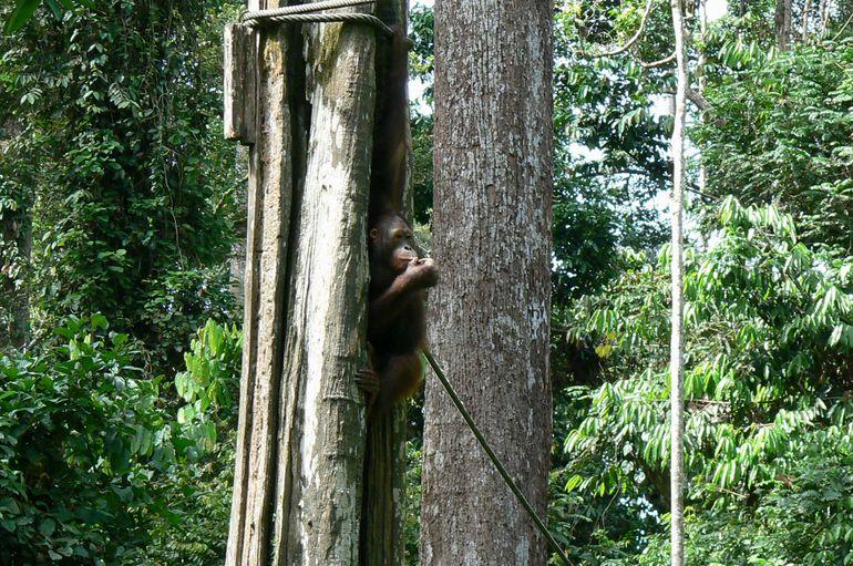 Orangutan at Sepilok - Kota Kinabalu