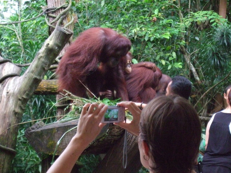 Orangutans #1 - Singapore