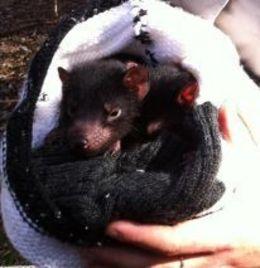 Tasmanian devil babies , Ewa C - November 2012
