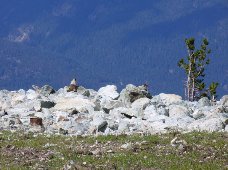 Whistling Marmot - Vancouver