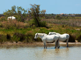 White horses of the Camargue cooling down in a pond - May 2011