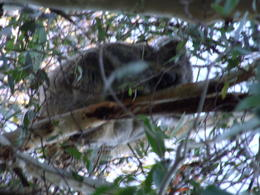 Spotted this koala while walking in the woods. , sowers1011 - November 2016