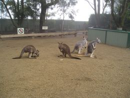 We started the day at Featherdale Wildlife Park. You can check out the animals and have breakfast with koalas., Christine C - July 2008