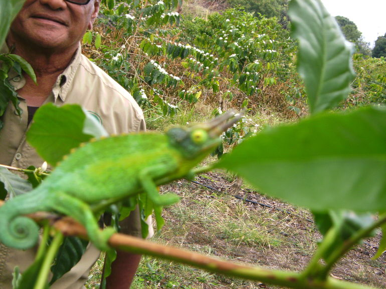 Chameleon on coffee tree - Big Island of Hawaii