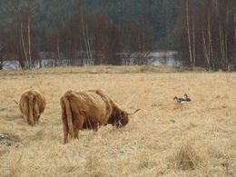 Just leaving Loch Ness we stumbled across some highland cattle. , Tamaya T - April 2013