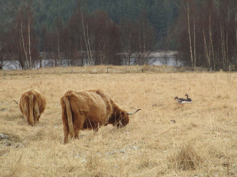 Hairy Coo's bedding with ducks off the side of the road. - Scotland
