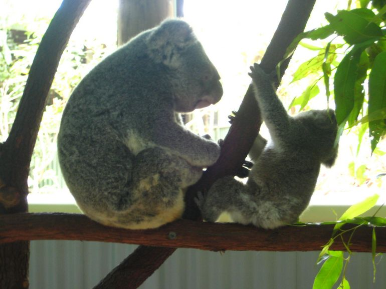 Koala family - Cairns & the Tropical North