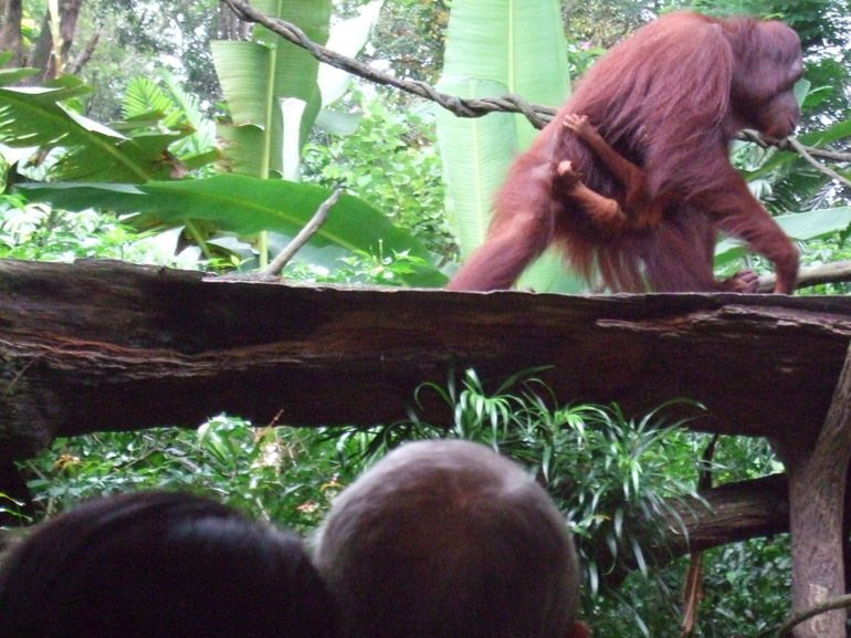 Orangutans #2 - Singapore