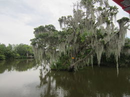 The swamp was an amazingly beautiful place cypress trees, Spanish moss, alligators, crab and catfish traps. , Richard C - July 2016