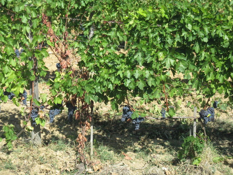 The Tuscan grapes - Rome
