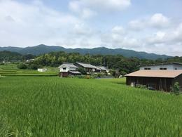 Rice fields , Katie I - July 2017