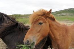 Icelandic Horse , Maria R - June 2012