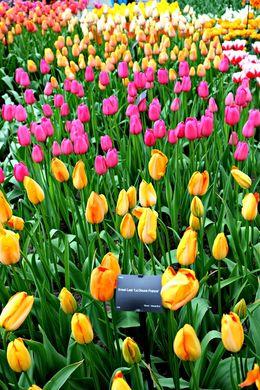 Beautiful tulips - April 2015