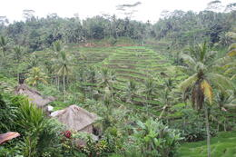 View of the rice fields , -wL- - September 2011