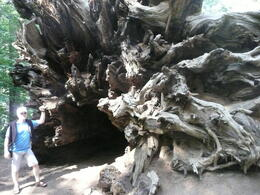 Steve standing next to the roots of a dead giant sequoia , Steven B - October 2011