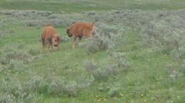 Bison calves. , Cynthia M - June 2017