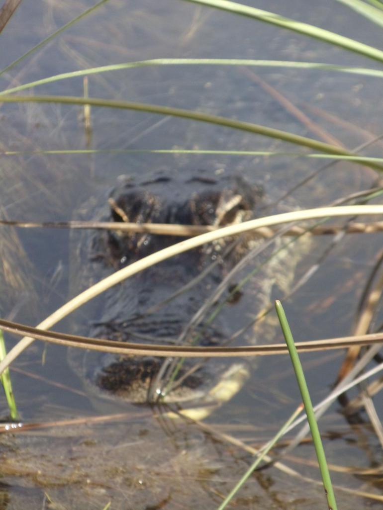 vue-de-pres-alligator-les-everglades