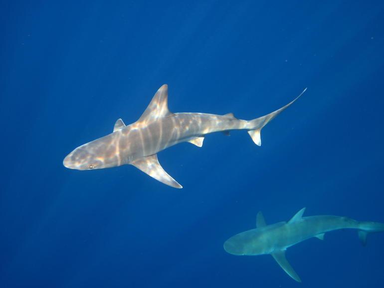 shark - Oahu