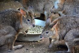 Wallaby self-serve at Featherdale Wildlife Park -- you can feed them, too! , wendyandkurtlutz - May 2017