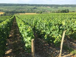 Pinot Noir grape vines and Champagne scenery , Ann F - July 2017