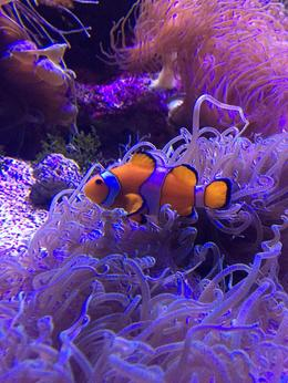 Clownfish at the aquarium! , Trina B - June 2016