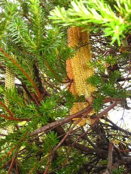 Some trees were blooming and had nice cones - March 2010