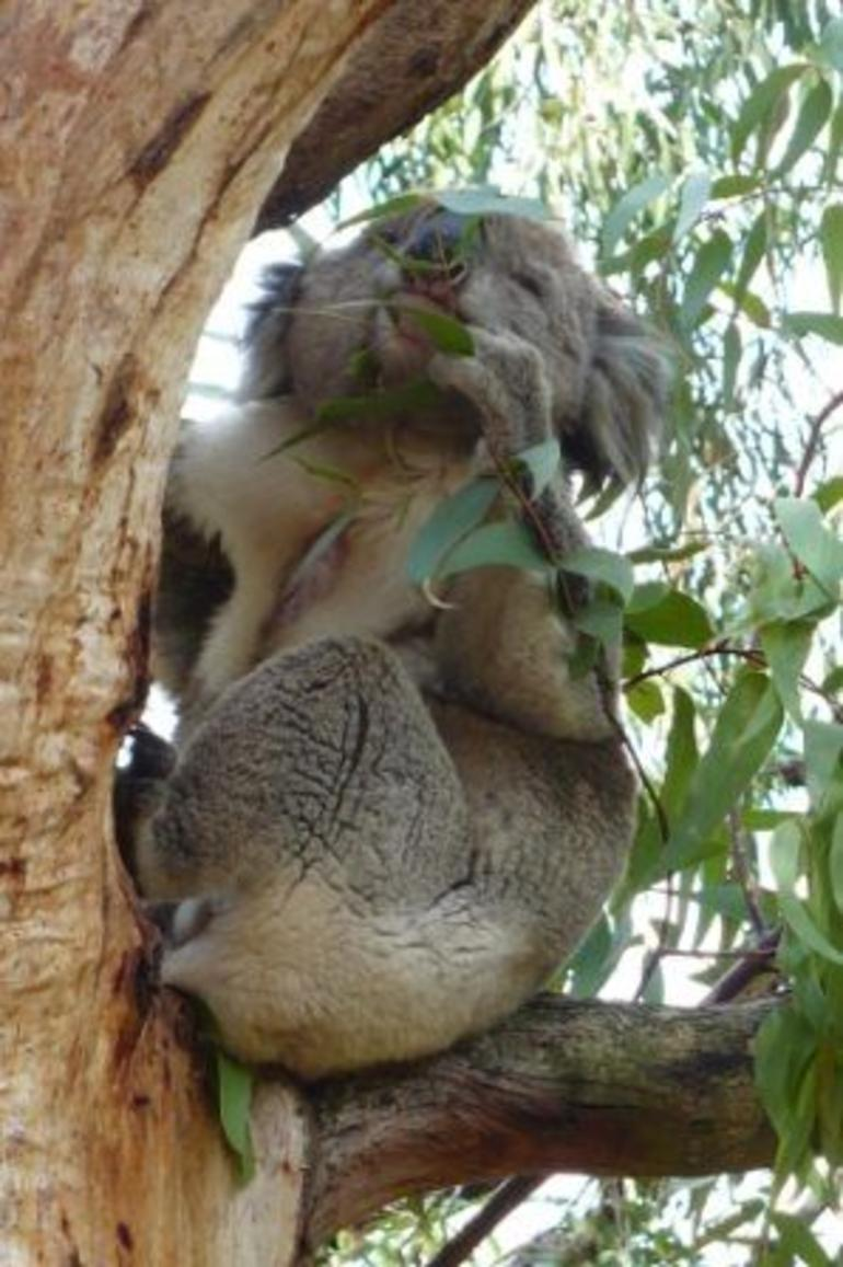 Koala Munch - Melbourne