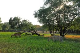 Two deer grazing in a field. With the amount of deer in this park, it's safe to say the tigers will never go hungry! , shalinihenry - November 2014
