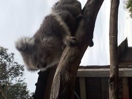 Koala at wildlife park. , Michelle S - January 2014