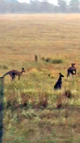 Wild Kangaroos from moving bus , James M W - January 2016