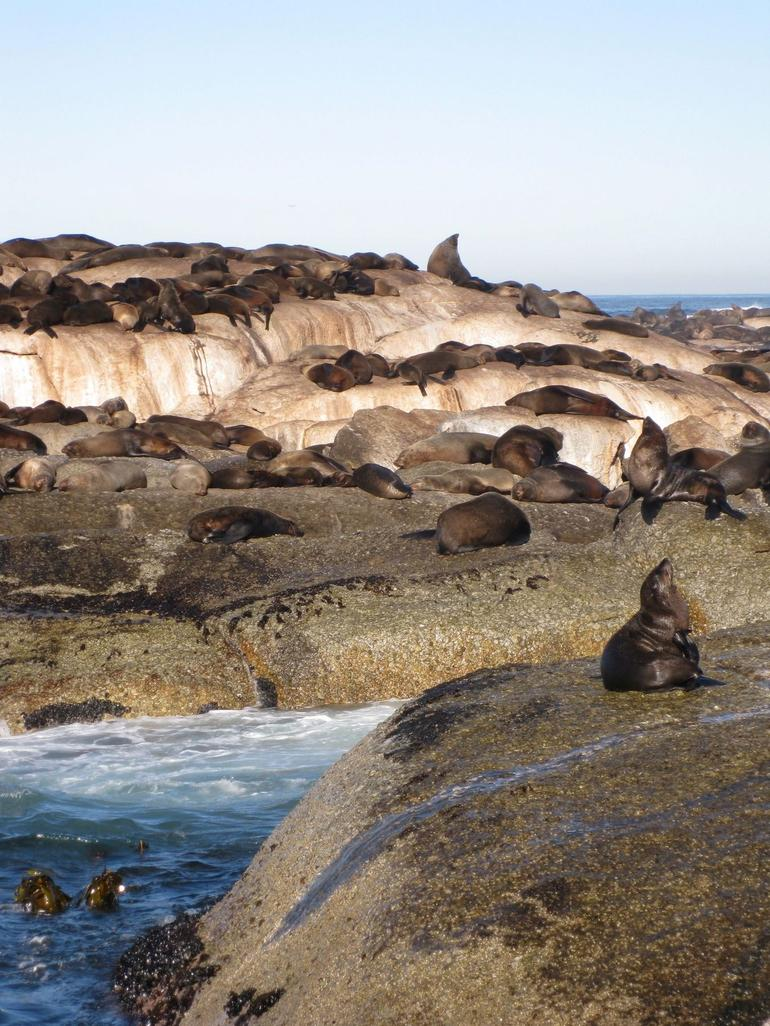 Seals at Hout Bay - Cape Town