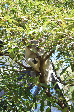 Koala on a tree , Eulalie C - April 2016
