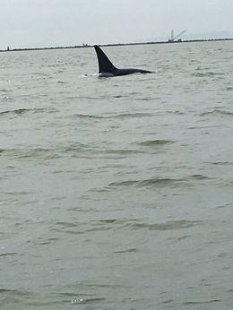 One of the Orcas we saw , ijanayajacob22 - July 2016