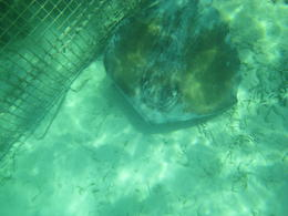 This is one of the sting rays we snorkeled with! , mceuba - July 2012