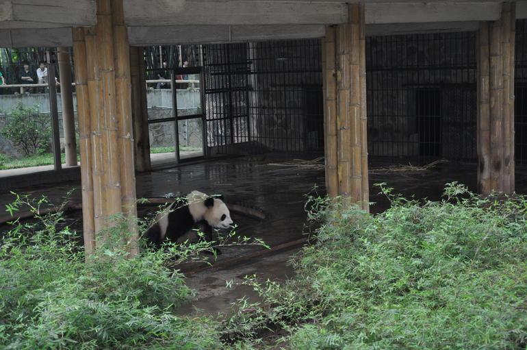 Panda one of two - Hong Kong