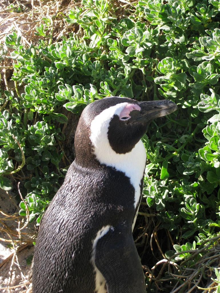Penguin - Cape Town