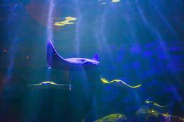A stingray swimming around the Shark Reef Aquarium at Mandalay Bay., Viator Insider - December 2017
