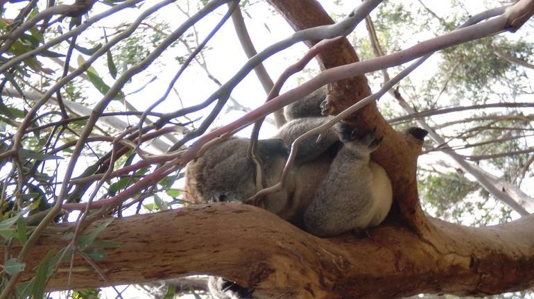 Koala - Phillip Island