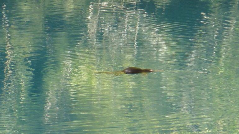 platypuss-lac-bleu