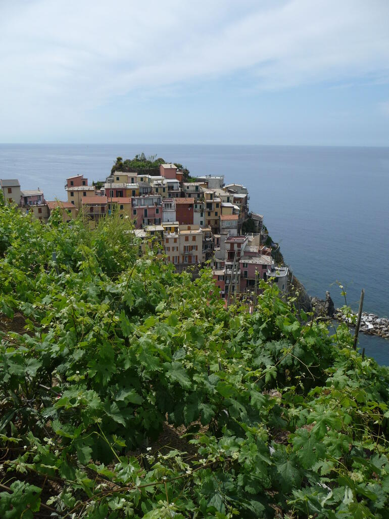 Manarola vine terraces -