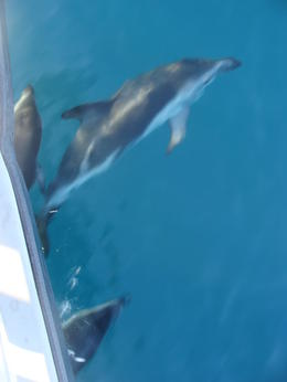 Dusky dolphins surfing off the the side of the boat For swim action see my video http://www.youtube.com/watch?v=n2bV-pPCCys , Sophie S - June 2011