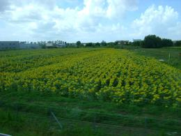 one of the many beautiful fields of flowers we saw on the way to Pisa, Christopher S - August 2010