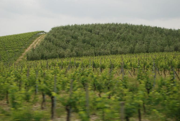 Vineyards in Tuscany - Florence