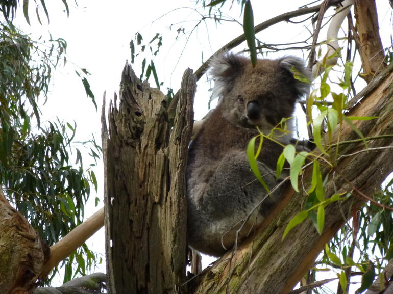 Cutie Koala - Melbourne