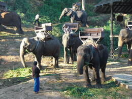 For a more comfortable ride, these elephants are outfitted with seats for passengers - March 2013