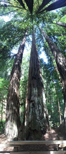 Giant Redwoods , XIAOLI Z - August 2016